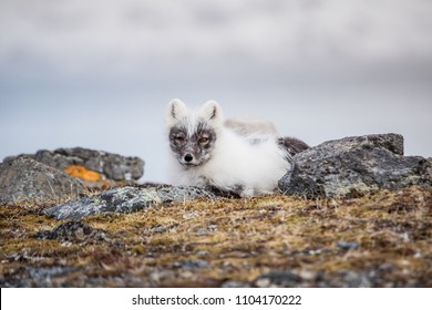 Arctic fox during resting in the tundra