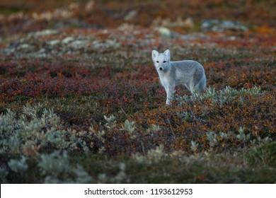 Arctic fox in a fall setting