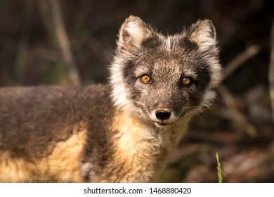 An arctic fox in the forest