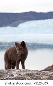 An arctic Fox in front of the famous Eqi glacier in Greenland