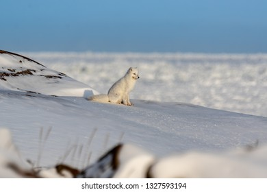 An arctic fox gazes off into the distance
