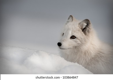 An Arctic Fox in its' winter coat. Looking left out of the frame.