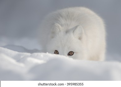 An Arctic Fox peering over a snow drift and looking directly at the camera.