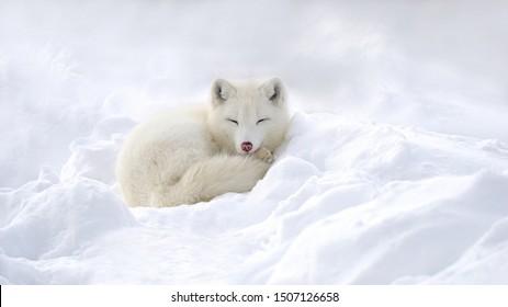 Arctic fox in the snow in winter.