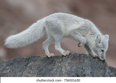 Arctic fox in Transition - An arctic fox has a blue-gray color as it transitions from the brownish color of summer to its white fur of winter.