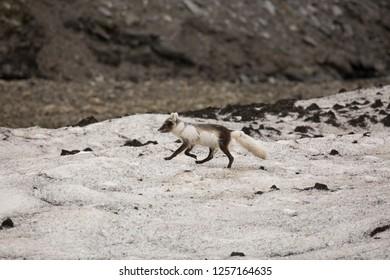 Arctic fox, Vulpes lagopus, aka white fox, aka polar fox, aka snow fox, female, vixen, walking, archipelago, Arctic Ocean, Northern Hemisphere, Svalbard, Norway, Europe