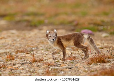 Arctic Fox, Vulpes lagopus, cute animal portrait in the nature habitat, grassy meadow with flowers, Svalbard, Norway. Beautiful wild animal in the grass. Polar fox in summer grey brown fur coat.