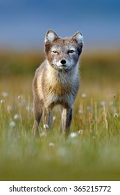Arctic Fox, Vulpes lagopus, cute animal portrait in the nature habitat, grassy meadow with flowers, Svalbard, Norway.
