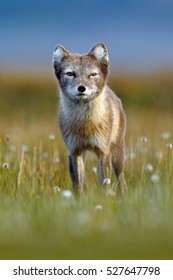 Arctic Fox, Vulpes lagopus, cute animal portrait in the nature habitat, grassy meadow with flowers, Svalbard, Norway. Polar fox in the nature spring habitat. Wildlife from Norway.