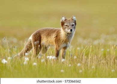 Arctic Fox, Vulpes lagopus, cute animal portrait in the nature habitat, grass meadow with flowers, Svalbard, Norway. Polar fox in the nature spring habitat. Wildlife from Norway.