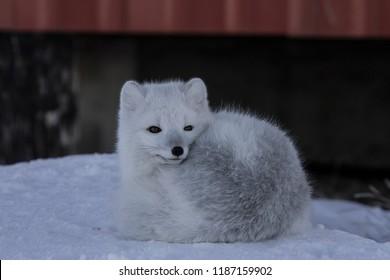 Arctic fox, Vulpes Lagopus, hanging around in snowy spring conditions, Cambridge Bay, Nunavut
