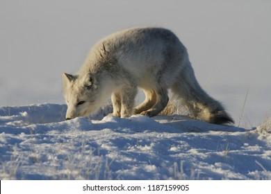 Arctic fox, Vulpes Lagopus, hunting around in snowy spring conditions, Cambridge Bay, Nunavut