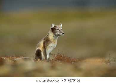 Arctic Fox, Vulpes lagopus, in the nature habitat, grassy meadow with flowers, Svalbard Norway.