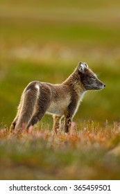 Arctic Fox, Vulpes lagopus in the nature habitat, grassy meadow with flowers, Svalbard, Norway.