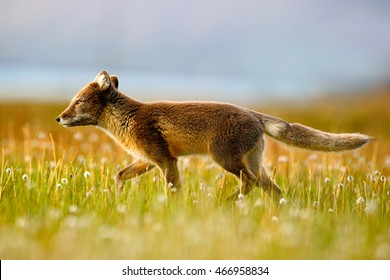 Arctic Fox, Vulpes lagopus, in the nature habitat. Fox on grassy meadow with flowers, Svalbard, Norway. Wildlife action scene from Norway.