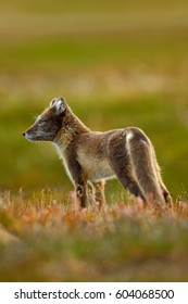 Arctic Fox, Vulpes lagopus in the nature habitat, grass meadow with flowers, Svalbard, Norway. Wildlife scene from nature.