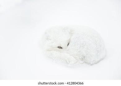 Arctic Fox (Vulpes lagopus) - Is it Spring Yet?