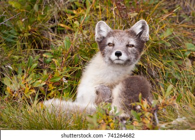 Arctic Fox Vulpes lagopus in summer coat on Herschel Island, Yukon, Canada