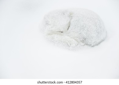 Arctic Fox (Vulpes lagopus) - Time to Hunker Down