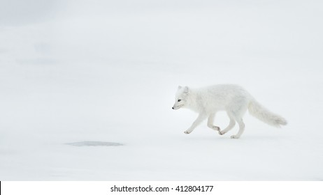Arctic Fox (Vulpes lagopus) - White Out