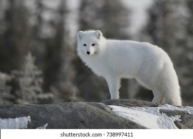 Arctic fox (Vulpes Lagopus) in white winter coat on the Canadian Shield near Churchill Manitoba