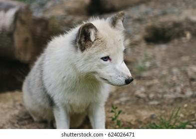 Arctic Fox (Vulpes lagopus/Alopex lagopus) - in summer coat