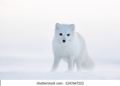 Arctic fox (white fox, polar fox, or snow fox). Cold and snowy December in the Arctic. Winter in the tundra in the wild. Wildlife of Chukotka, Siberia, Far East Russia. Extreme North. Chukotka nature.