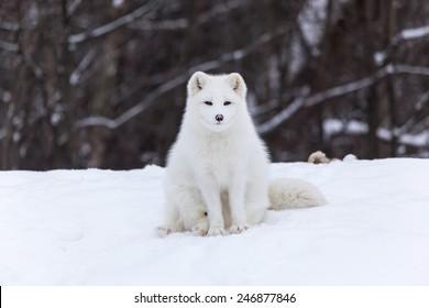 Arctic Fox in the winter