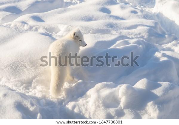 arctic-fox-winter-pelage-snow-600w-16477