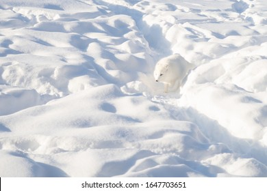 Arctic fox in winter pelage walking in the snow