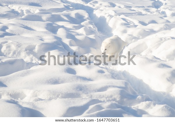 arctic-fox-winter-pelage-walking-600w-16