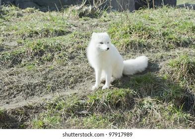 Arctic Fox in winter white coloring.