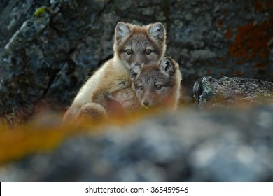 Arctic Foxes, Vulpes lagopus, two cubs in the nature habitat, hidden in the rocky habitat, Svalbard, Norway.