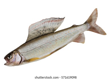 Arctic grayling closeup isolated on white background