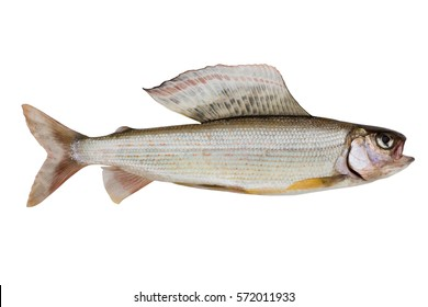 Arctic grayling medium size isolated on a white background