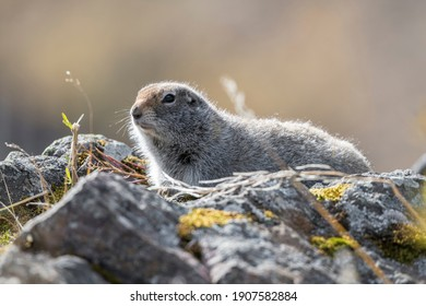 Arctic Ground Squirrel is common in Denali National Park