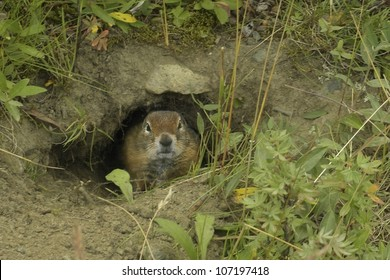 Arctic Ground Squirrel (Spermophilds parryii) peers from its burrow Denali National Park, Alaska.