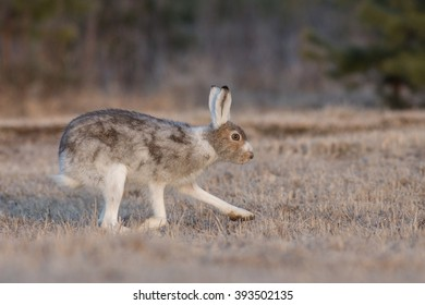 Arctic Hare changing its fur from winter to summer plumage.