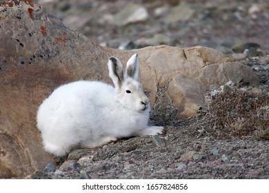 An arctic hare (Lepus arcticus) sits behind the shelter of a rock in Quttinirpaaq National Park on Ellesmere Island, Nunavut, Canada.