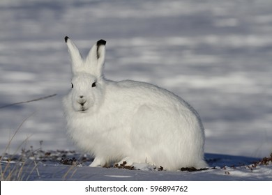 Arctic hare (Lepus arcticus) in snow showing winter coat near Arviat, Nunavut