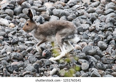 Arctic hare (Lepus timidus, male) rides through boulder beach. The animal is shot close-up