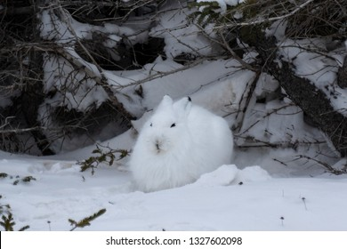 Arctic hare in the snow