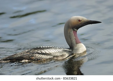 Arctic Loon (Gavia arctica) on a swedish lake