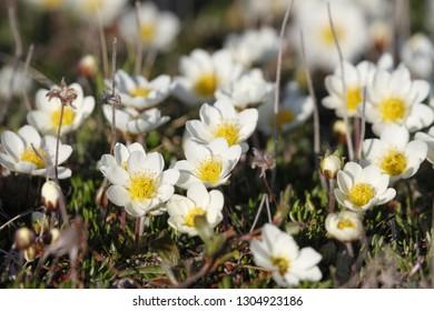 Arctic mountain avens (Dryas integrifolia/octopetala) or alpine dryad plants flowering north of Arviat, Nunavut, Canada