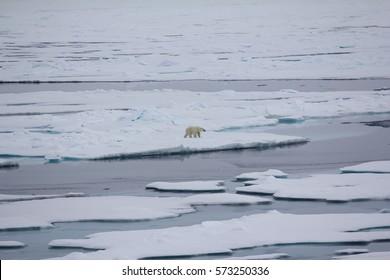 Arctic ocean at latitude 84-87 degrees, 2016. Polar bear near North Pole. Bear goes into expanses of ocean. Climate change, melting ice