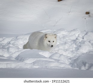 Arctic Polar white fox in heavy winter snow