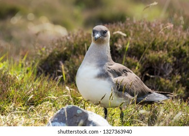Arctic skua standing on the ground in heather and grass