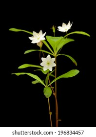 Arctic starflower isolated on black