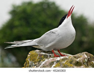 Arctic tern calling from stone wall