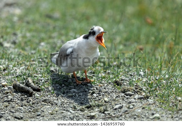 arctic-tern-chick-fledgling-calling-600w